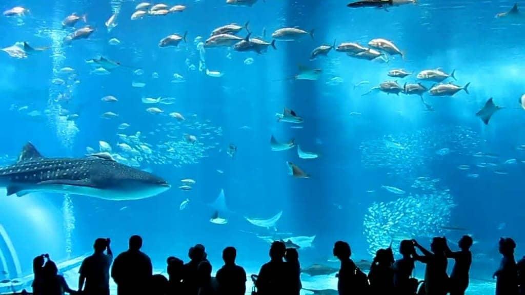 Okinawa Churaumi Aquarium travel murah ke jepang 2016 trip murah ke jepang paket travel murah ke jepang