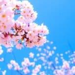 Paket Promo Jalan Jalan ke Jepang Sakura  2017