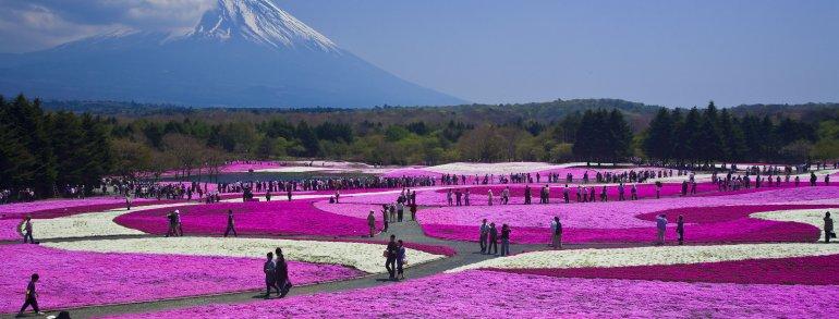 Fuji Shibazakura Tour dari Tokyo Dengan Mobil Pribadi